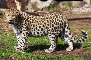 Leopard by KristinCross