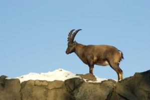 Alpine Ibex - Wrestling or courting? -6of6 by steppeland