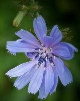 Blue Wildflower II by MadGardens