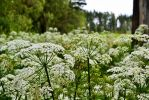 A cow parsley field by why-you-are-shy