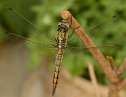 Dragon fly_2_ by Morvarid26