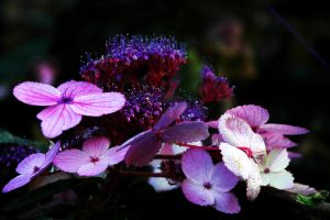 Purple Hydrangea by EarthHart