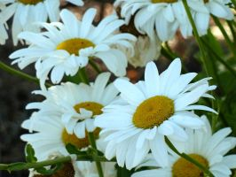 White Daisies IV by AtomicBrownie