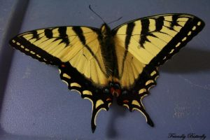 Swallowtail by FriendlyButterfly
