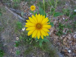 Yellow Daisy by love-norway