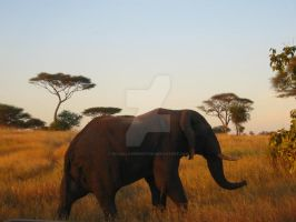 Elephant at Sunset by sylvialovesphotos