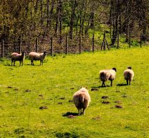 Sheep Herding by bulldogstoy