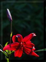 ...color of passion... by Yancis