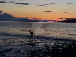 Heron At Sunset. by wolfwings1