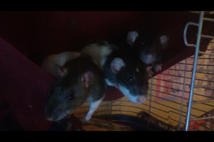 Tetra, Navi, and Zelda Relaxing in their Hammock by The-Bryce-Is-Right