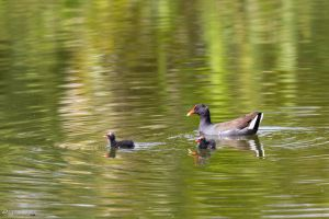Baby common gallinules by LordMajestros
