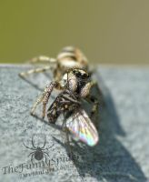 Female Salticus scenicus with Prey by TheFunnySpider