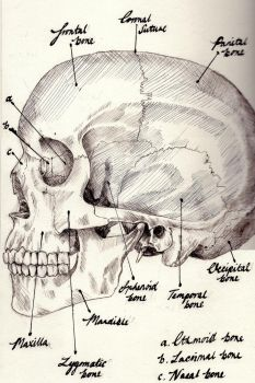 Lateral View of the Skull by lifeismybeat