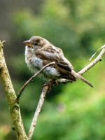 Juvenile Sparrow by Rice3