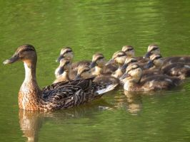 ducklings 2 by Turly