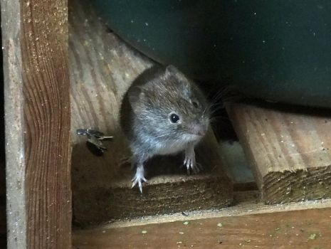 Mousey by PaulEberhardt