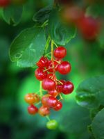 Berries by LucieG-Stock