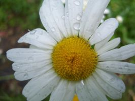 Drops on a daisy-thing by evanna11