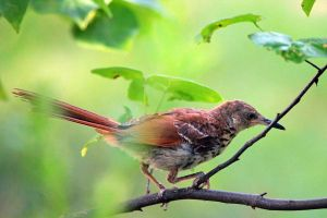 Shy Thrasher by clippercarrillo