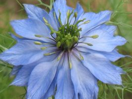Love-In-A-Mist Up Close by Jyl22075
