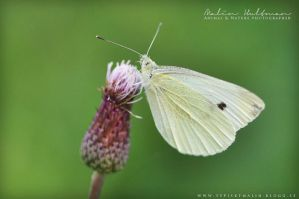 Butterfly by Pebels