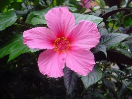 Hibiscus Pink Flower Stock by Enchantedgal-Stock