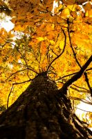 Fall Tree Leaves by RobertRobledo