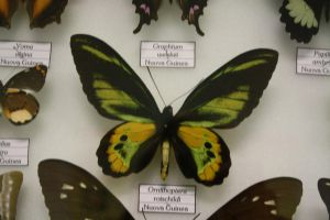 Ornithoptera Rothschildi by Seraerith-stock