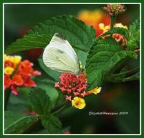 Cabbage butterfly by mariquasunbird1