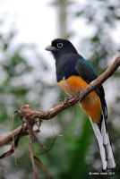 Smiley the Trogon by meihua