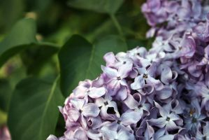 Lilac blossoming stock #8 by croicroga
