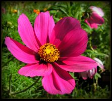 Cosmos Beautiful in Pink by JocelyneR