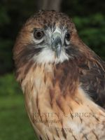 Red Tailed Hawk by KAKruger