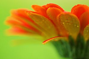 close-up of orange flower and drops of dew by a6-k