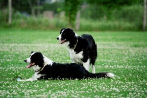 border collies by Borderkowa