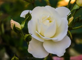 White Rose by GreenlandsGirl
