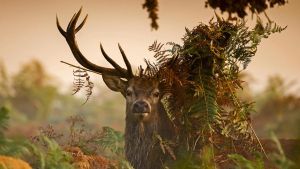 Richmond park of red deer, the United Kingdom, by BalochDesign