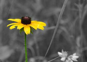 Black Eyed Susan in Touch of Color by AlgeriArts