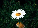 Daisy by BDTPHOTO