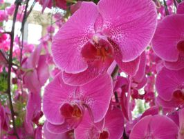 Pink Orchids by ShelbyGT-500KR