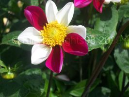 pink and White Dahlia by KillTheLights98