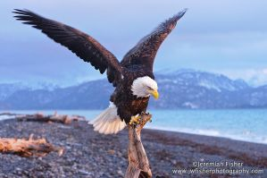 Eagle landing by JWFisher