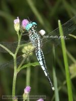 dragonfly V by dianapple