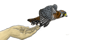 Commission--American Kestrel by Colliequest