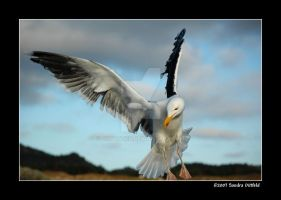 Norwegian Gull 22 by grugster
