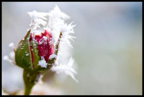 Frozen Rosebud by echomrg