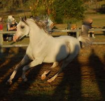 JA Arab grey canter side 3.4 by Chunga-Stock