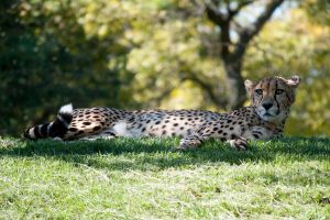 Toronto Zoo: Cheetah by veWoz