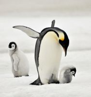 Emperor penguin by laogephoto