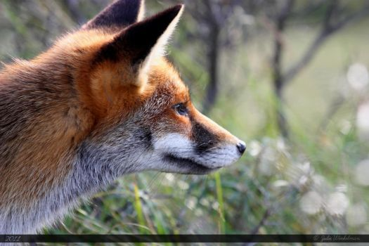 Red Fox 11 by Canisography